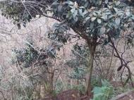 Земельный участок с фруктовым и мандариновым садом у моря в Цихисдзири, Грузия. Фото 2
