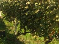 """Vineyards in Gurjaani, Kakheti, Georgia. Grape variety: """"Rkatsiteli"""". Photo 3"""