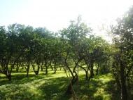 Земельный участок в Батуми с мандариновым садом Фото 4