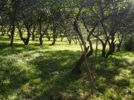 Земельный участок в Батуми с мандариновым садом Фото 3