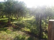 Земельный участок в Батуми с мандариновым садом Фото 1
