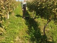 """Vineyards in Gurjaani, Kakheti, Georgia. Grape variety: """"Rkatsiteli"""". Photo 1"""