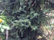 Дом с видом на море в Капрешуми. Дом с большим участком и мандариновым садом в Капрешуми, Батуми, Грузия. Фото 15